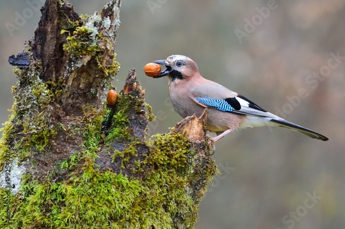 Canvastavla Eurasian jay with a nut in the beak.