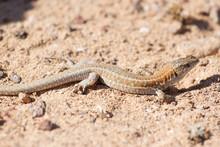 Lizard Lagarto Ocelado
