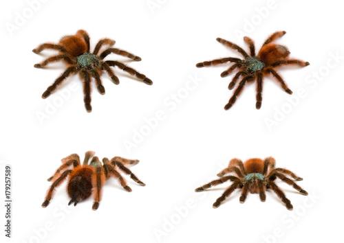 Photo Avicularia versicolor. Bird spider