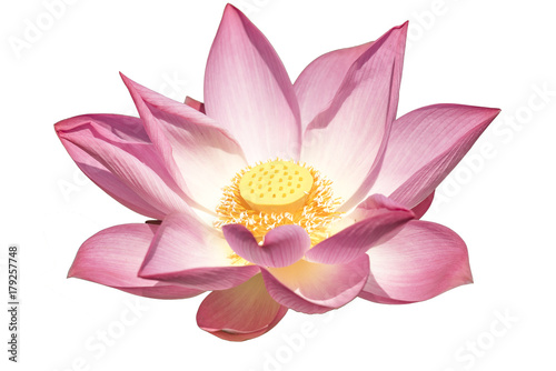 Garden Poster Lotus flower Lotus on white background