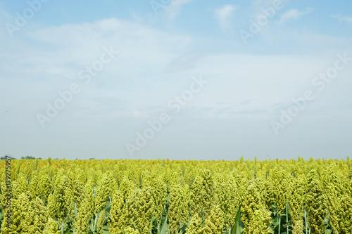Fototapeten Wald Selective soft focus of Sorghum field in sun light