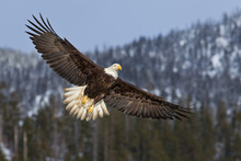 Bald Eagle Flying High With Mo...