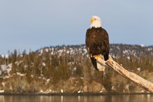 Bald Eagle Sitting On A Perch ...