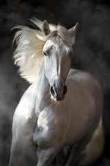 Obraz na Szkle Koń White andalusian horse with long mane on black background in motion