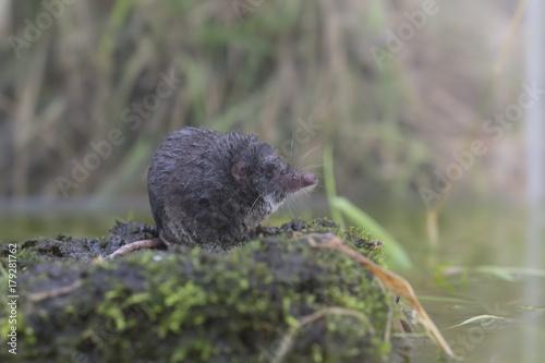 Fotografie, Obraz water shrew portrait while on ground beside water reflection.