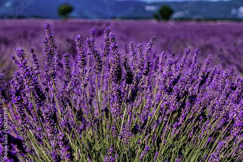 Spoed Foto op Canvas Violet Lavender field