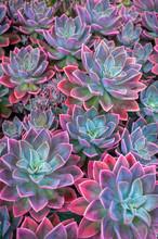 Beautiful Succulent Plants, Ec...