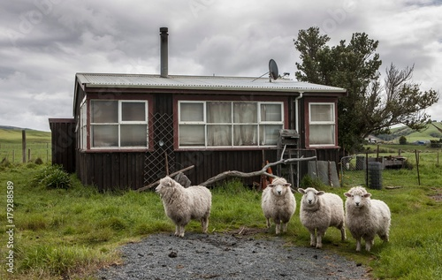 Canvas Prints Sheep Sheep at Kaka Point