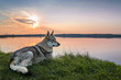 wolfdog in the nature