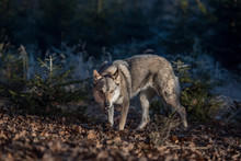 Photo Of A Wolf In Its Natura...