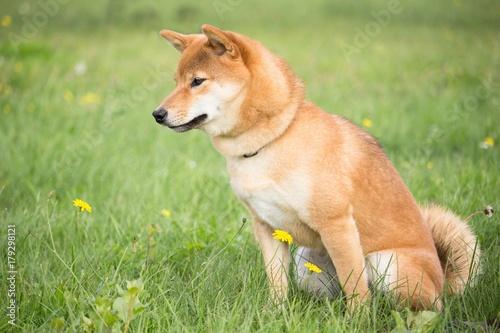 petit chien japonais shiba inu en éducation canine avec une position assis Fotobehang