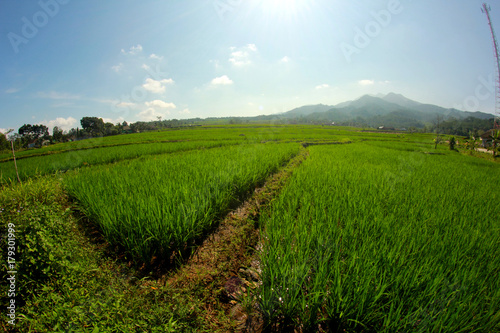 Plakaty rice plants, mountains, and blue skies