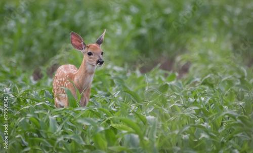 Poster Deer Fawn grazing
