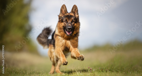Fotografie, Obraz German shepherd dog