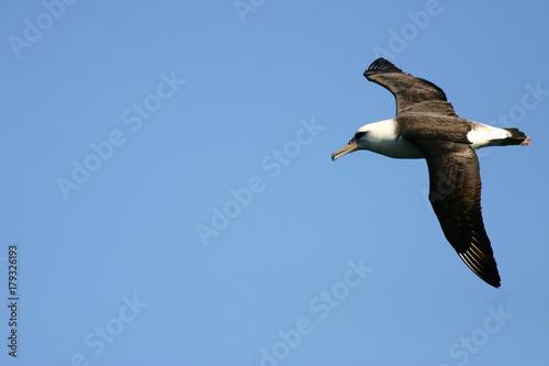 Fotografia, Obraz  Layson Albatross