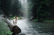 Dog Jack Russell Terrier On The Banks Of A Mountain Stream