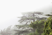 Cedar Of Lebanon Cedrus Libani Forest In The Mist And Fog Near Tahtali Mountain In Turkey. Rare And Endangered Species Of Trees