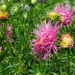 canvas print picture Bright pink asters on a flower bed in the park.