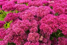 Close-up Of Purple Sedum Flowe...