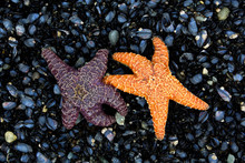 Orange And Purple Starfish On A Bed Of Mussels