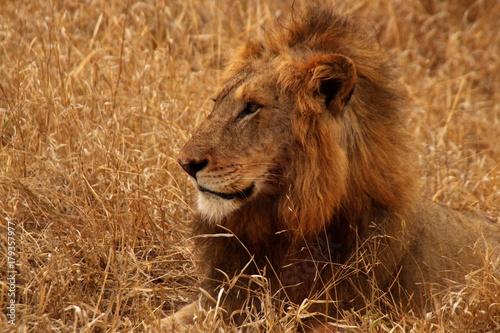 Zdjęcie XXL Lion odpoczynku