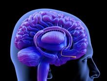 Illustration Of Human Brain Olfactory Bulb Against Black Background