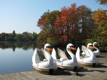 Swan Paddle Boats On The Dock ...