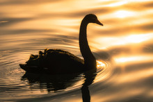 Black Swan In Golden Hour
