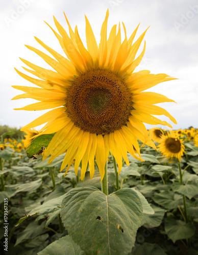 Cadres-photo bureau Tournesol Sunflowers