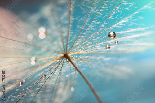 Fototapeta The droplet of water on the seed of dandelion . Dandelion on a turquoise background. Selective focus obraz