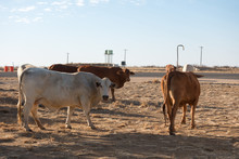 Droughtmaster Cattle Near Road At Corfield In Rural Queensland