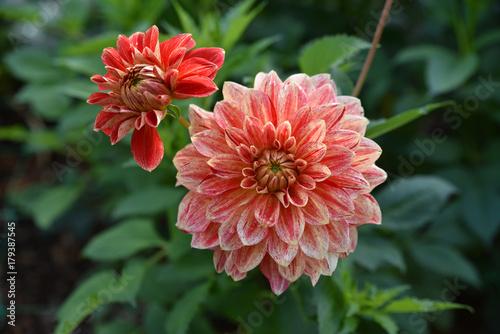 Aluminium Prints Dahlia Dahlia rose et rouge en été au jardin
