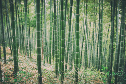 Poster Bambou Green Bamboo Forest In China