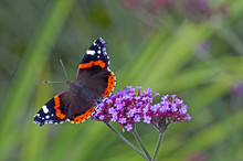 Red Admiral Butterfly On A Ver...