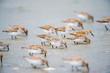 Gambecchio dell'Alaska Calidris Mauri