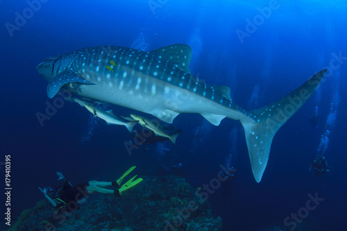 Naklejka premium Whale Shark and scuba divers