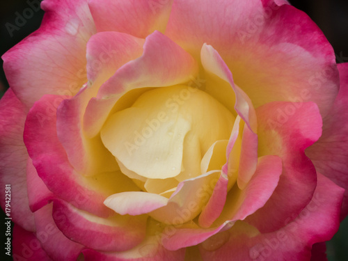 Close Up Perfect Rose In A Raining Day Buy This Stock Photo And