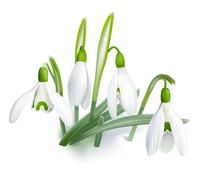 Snowdrop - Galanthus Nivalis....
