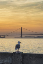 Seagull Watching The Golden Ga...