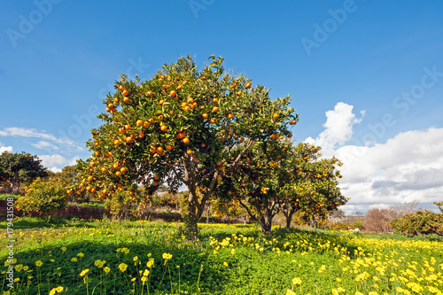 Fotografija  Orange orchard in spring in Portugal