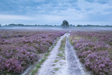 droga między różowymi kwitnącymi łąkami z wrzosem - 179450987