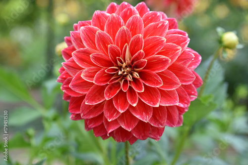 Poster Dahlia Dahlia rouge en été au jardin