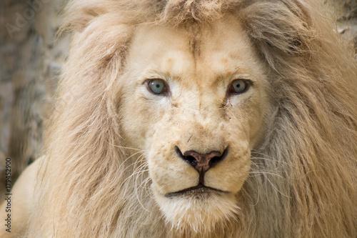Staande foto Leeuw Weißer Löwe