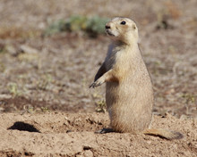 Standing Prairie Dog In The Pr...