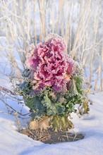 Colorful Ornamental Cabbage I...