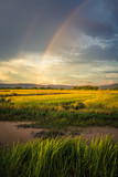 Fototapeta Tęcza - Rice Field and Rainbow