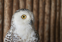 Close Up Snowy Owl Eye With Wo...