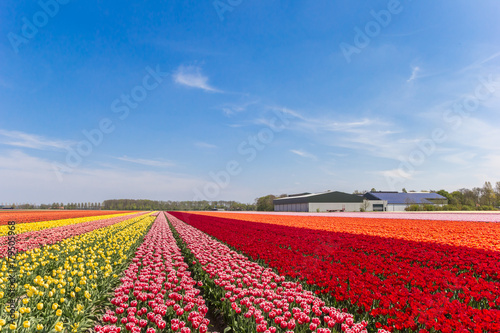 Colorful tulips and a farm in Noordoostpolder