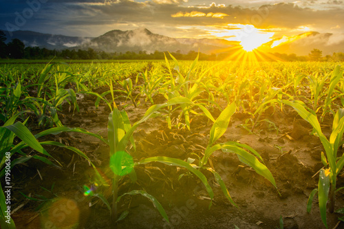 Poster Melon young green corn field in agricultural garden and light shines sunset