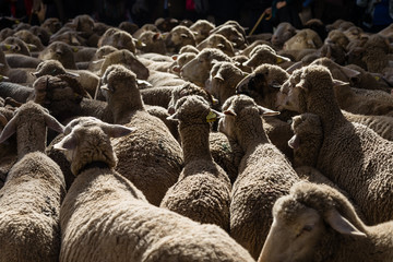 Flock of sheep passing through Madrid on the occasion of the feast of transhumance